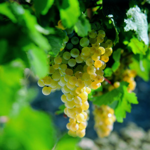 Ripe Palomino grapes hang from the vine. (photo credit www.sherry.org)