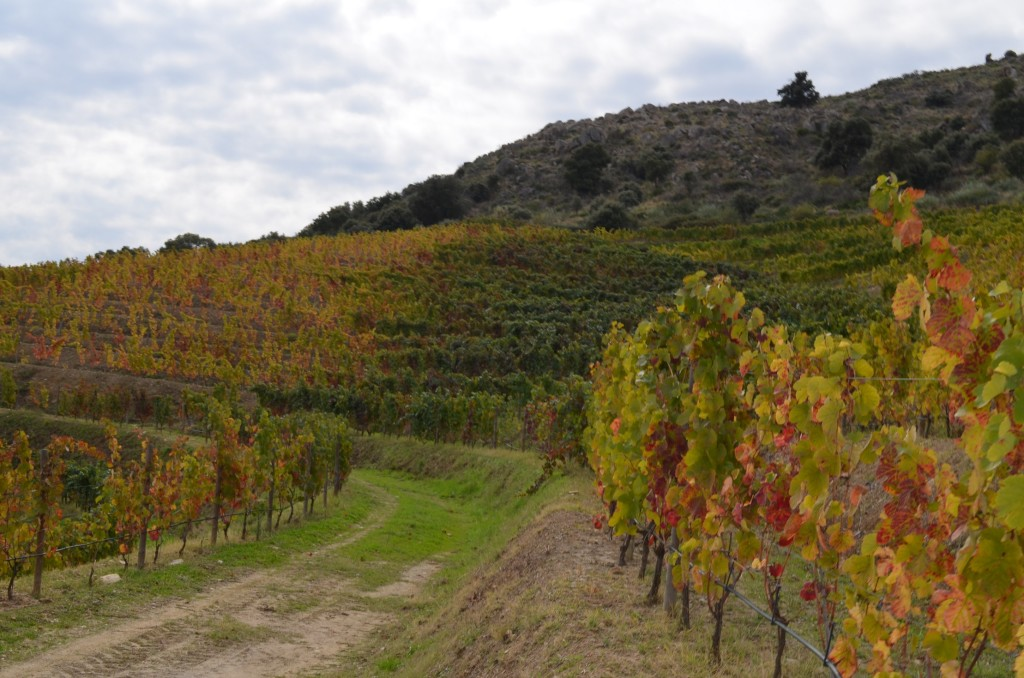 The vines from left to right in the middle of the photo at the end of the path are the same age vines showing different stages and levels of vigor.