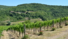 Montevertine vines